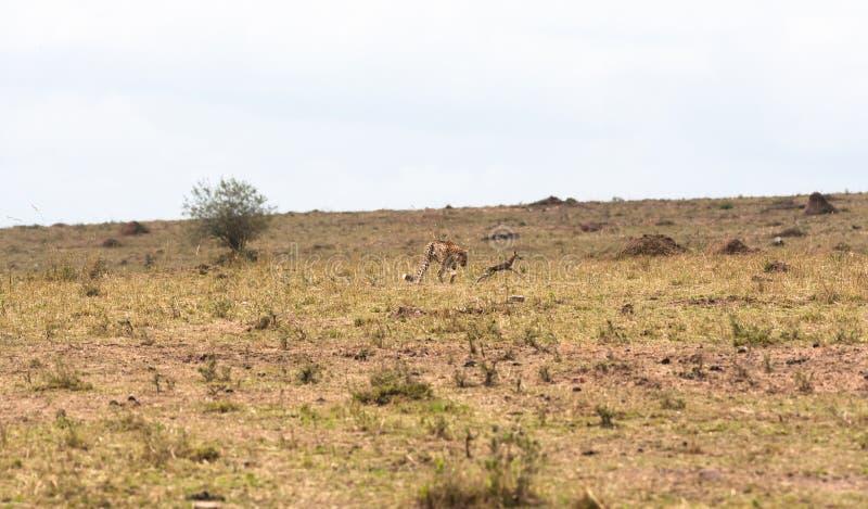 Το παιχνίδι της γάτας και του ποντικιού με το λάφυρο θανάσιμο παιχνίδι masai της Κένυας mara στοκ εικόνες