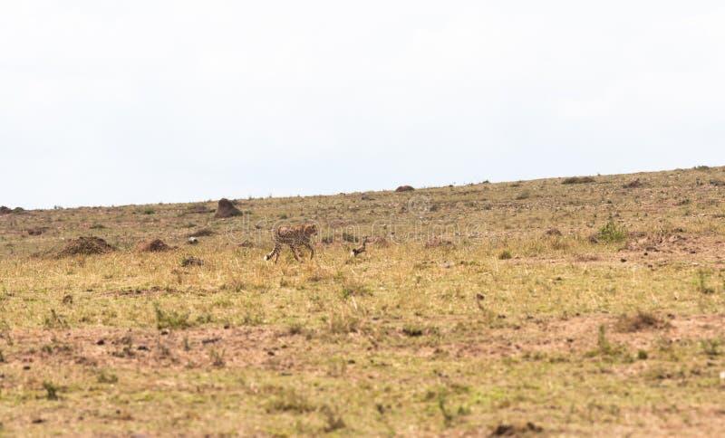 Το παιχνίδι της γάτας και του ποντικιού με το λάφυρο Μια γάτα είναι πάντα μια γάτα masai της Κένυας mara στοκ φωτογραφία με δικαίωμα ελεύθερης χρήσης
