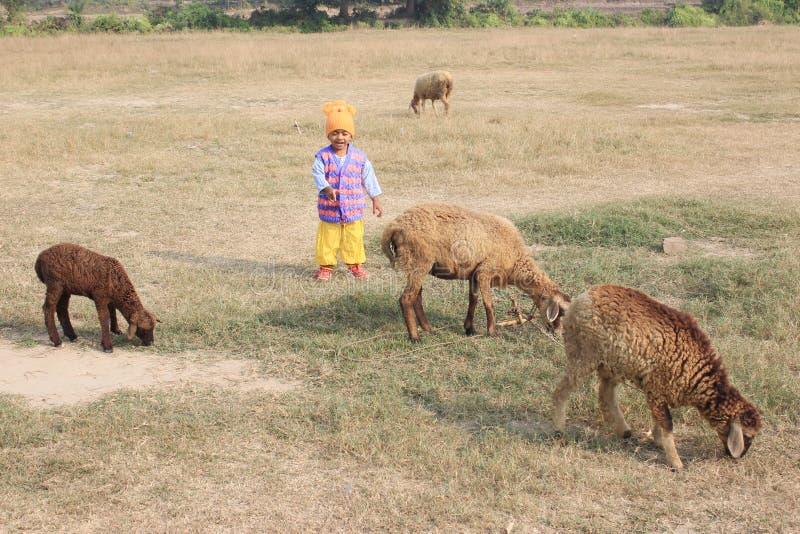Το παιδί παίζει με τέσσερα πρόβατα στοκ φωτογραφία με δικαίωμα ελεύθερης χρήσης