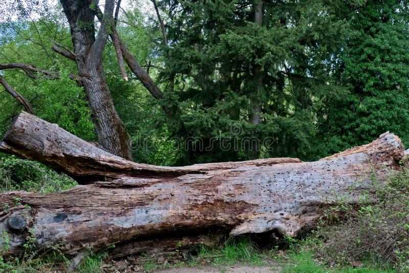 """Το παλαιό μεγάλο δέντρο έπεσε και βρίσκεται στη μέση Ï""""Î¿Ï… δάσους στοκ φωτογραφίες"""