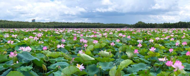 Το πανόραμα των λιμνών λωτού στην ειρηνική και ήρεμη επαρχία στοκ φωτογραφίες με δικαίωμα ελεύθερης χρήσης