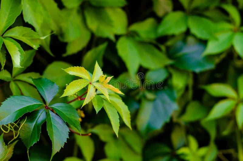 Το παρθενόκις quinquefolia, γνωστό ως Βιρτζίνια Creeper, Victoria Creeper, ο πεντάφυλλος κισσός, ή πέντε δαχτύλων, είναι ένα είδο στοκ φωτογραφία