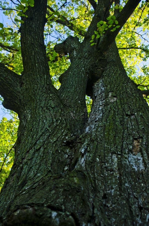 Το παλαιό δρύινο δέντρο στοκ εικόνες