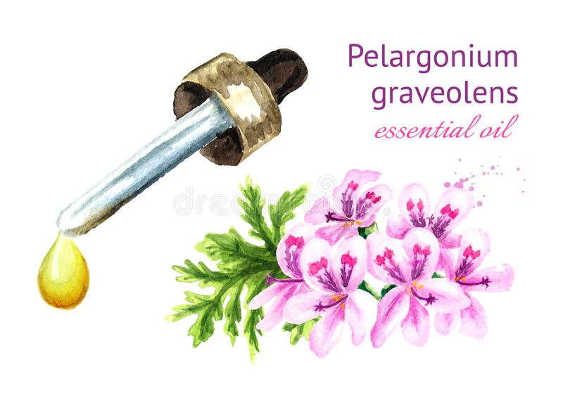 Το πελαργόνιο graveolens ή το πελαργόνιο Χ asperum, λουλούδι γερανιών και ουσιαστικό πετρέλαιο μειώνεται Συρμένη χέρι απεικόνιση  διανυσματική απεικόνιση