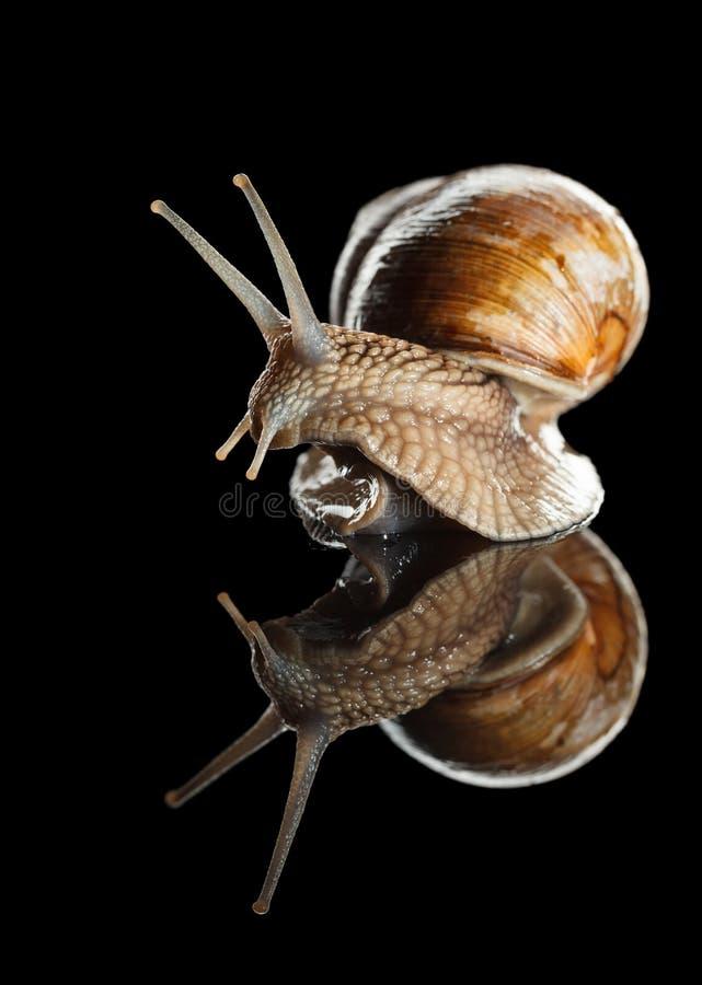 Το περίεργο σαλιγκάρι κοιτάζει γύρω στοκ φωτογραφία
