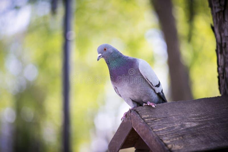 Το περιστέρι κάθεται σε ένα σπίτι πουλιών στοκ φωτογραφία