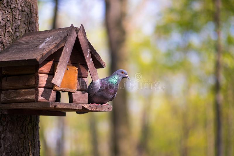 Το περιστέρι κάθεται σε ένα σπίτι πουλιών στοκ εικόνες με δικαίωμα ελεύθερης χρήσης