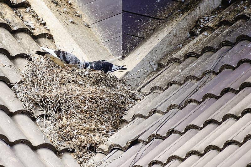 Το περιστέρι χτίζει τη φωλιά του πάνω από τη στέγη σπιτιών στοκ φωτογραφίες