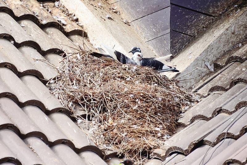 Το περιστέρι χτίζει τη φωλιά του πάνω από τη στέγη σπιτιών στοκ εικόνα