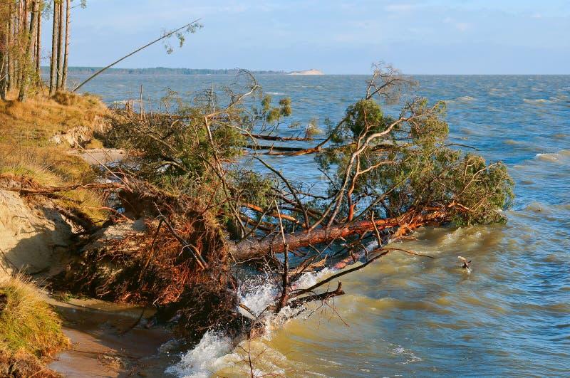 Το πεύκο περιήλθε σε μια λίμνη, δέντρα αφότου έσπασε η θύελλα και περιήλθε στη λίμνη στοκ φωτογραφία