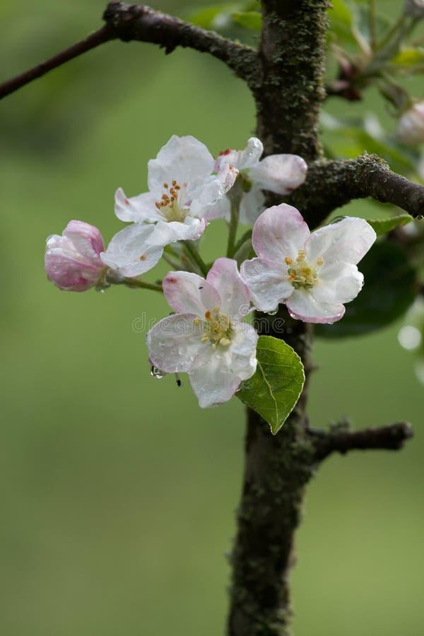 το πεδίο βάθους μήλων ανθίζει το ρηχό δέντρο στοκ φωτογραφίες