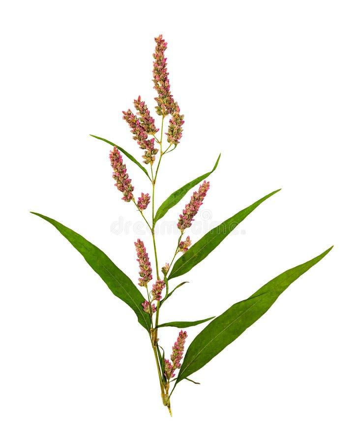 Το πιεσμένο και ξηρό λουλούδι ή persicaria hydropiper, ISO στοκ εικόνες