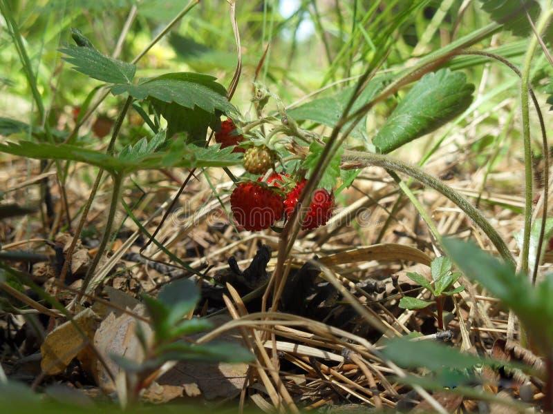 Το πιό εύγευστο μούρο στις γη-φράουλες στοκ φωτογραφίες
