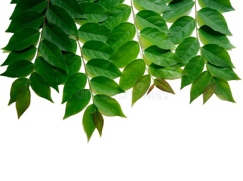 Το πλαίσιο με τη δέσμη του πράσινου ριβησίου αστεριών βγάζει φύλλα απομονωμένος στο whi στοκ εικόνα