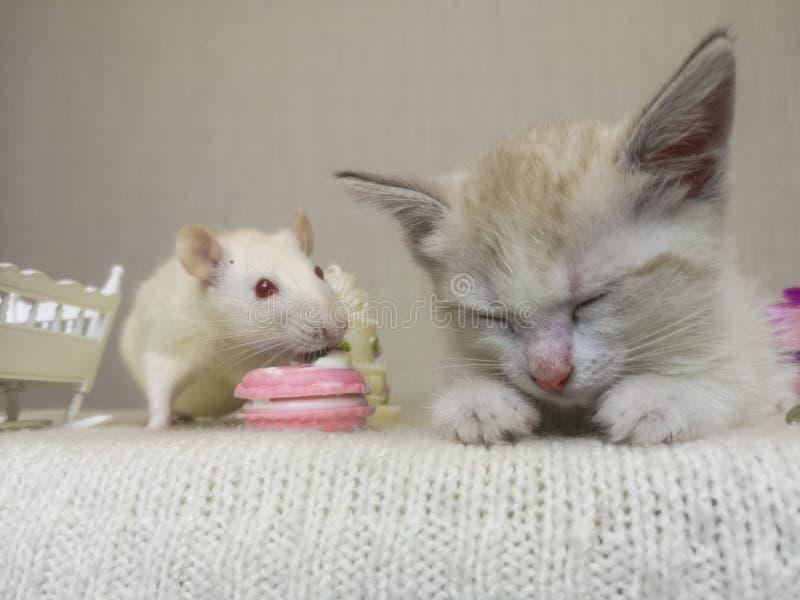 Το ποντίκι κάθεται δίπλα στη γάτα Ένα μικρό γατάκι έπεσε κοιμισμένο στοκ εικόνες