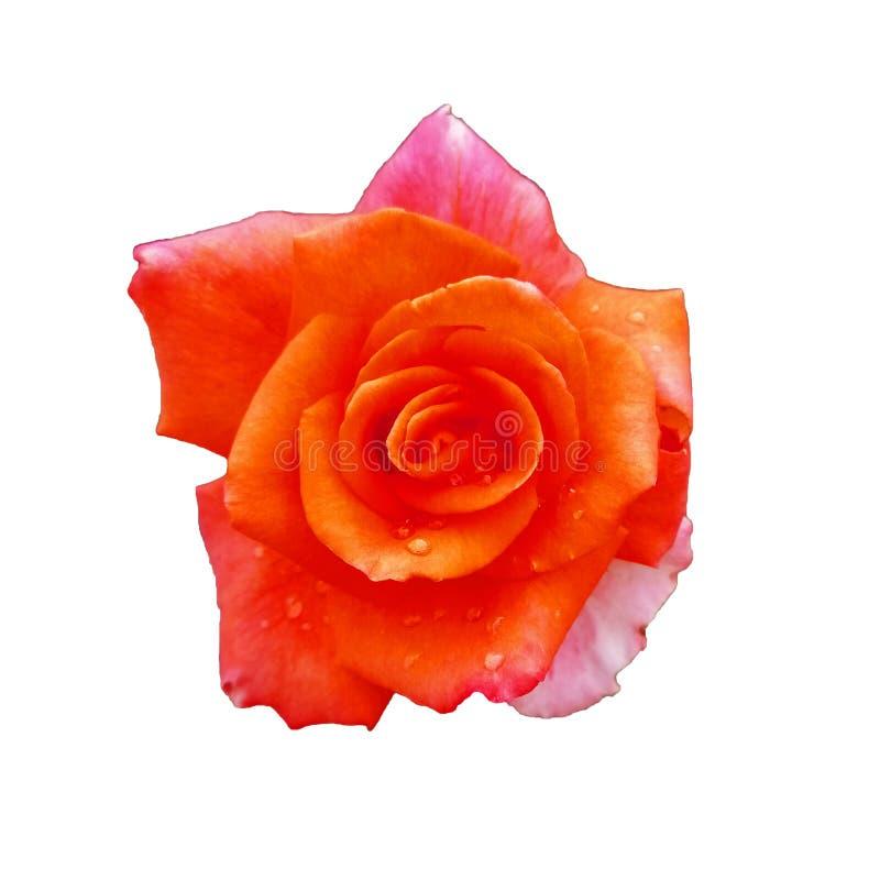 το πορτοκάλι εγκαταστάσεων κήπων αυξήθηκε διακοσμητικός θάμνος με τα τριαντάφυλλα αυξήθηκε για το υπόβαθρο στοκ εικόνα