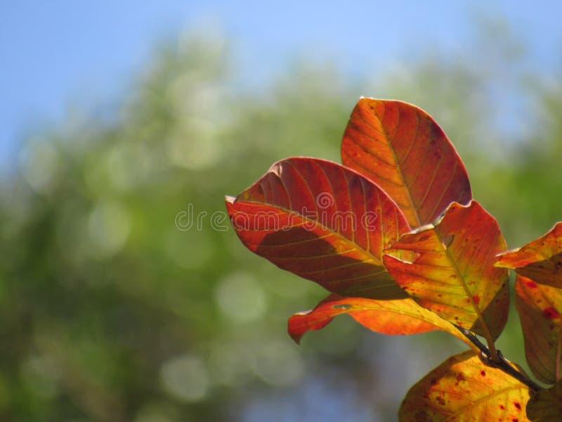 Το πορτοκάλι, πράσινος και κιτρινωπός βγάζει φύλλα σε ένα υπόβαθρο μπλε ουρανού με τα χαρακτηριστικά γνωρίσματα bokeh στοκ φωτογραφία με δικαίωμα ελεύθερης χρήσης