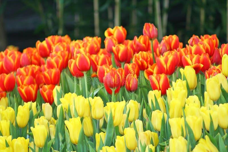 Το πορτοκαλί και κίτρινο ανθίζοντας υπόβαθρο λουλουδιών, λουλούδι τουλιπών στο φεστιβάλ λουλουδιών Chiang Mai της Ταϊλάνδης, κράτ στοκ εικόνα με δικαίωμα ελεύθερης χρήσης