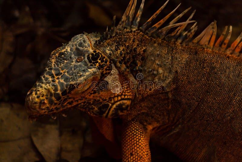 Το πορτοκαλί iguana είναι μια σπάνια μεταλλαγή στοκ φωτογραφίες με δικαίωμα ελεύθερης χρήσης