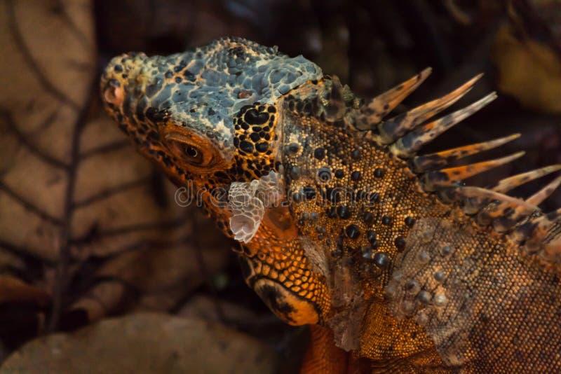 Το πορτοκαλί iguana είναι μια σπάνια μεταλλαγή στοκ φωτογραφία με δικαίωμα ελεύθερης χρήσης