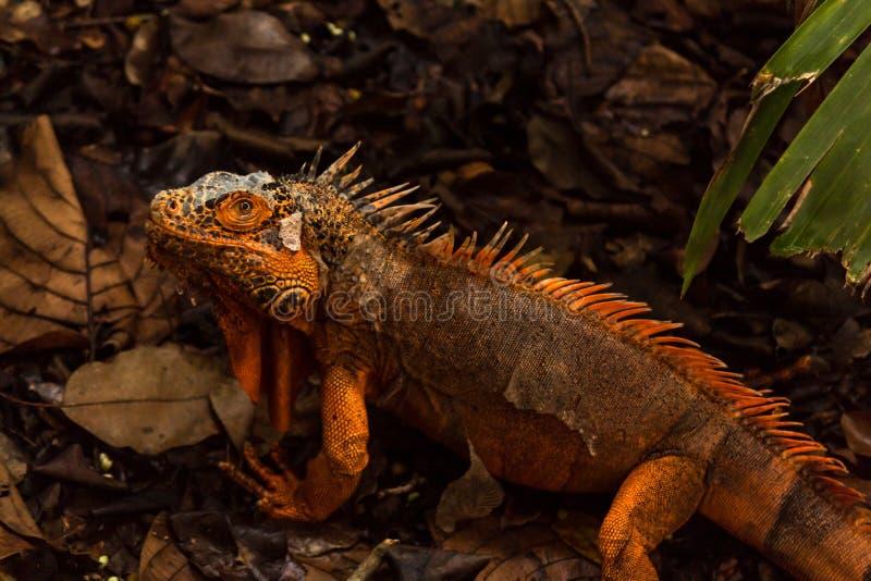 Το πορτοκαλί iguana είναι μια σπάνια μεταλλαγή στοκ εικόνα με δικαίωμα ελεύθερης χρήσης