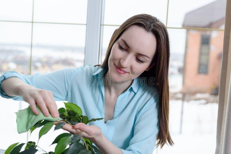 Το πορτρέτο ενός κοριτσιού με ένα ύφασμα σκουπίζει τη σκόνη στα φύλλα μιας houseplant, προσοχής φυτών στοκ φωτογραφίες