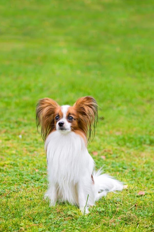 Το πορτρέτο ενός papillon το σκυλί στοκ εικόνες
