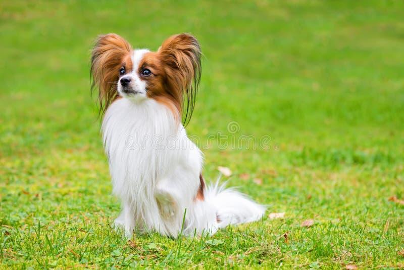 Το πορτρέτο ενός papillon το σκυλί στοκ φωτογραφία με δικαίωμα ελεύθερης χρήσης