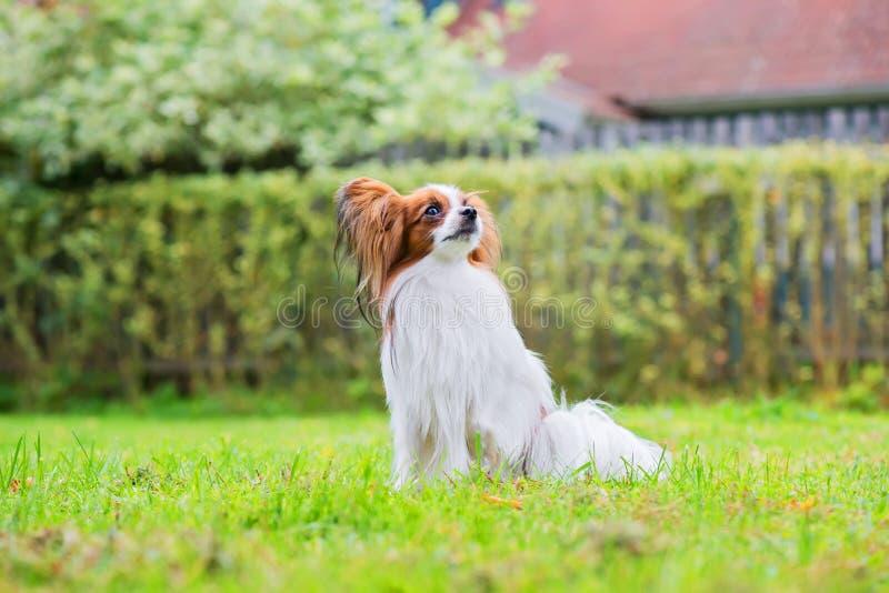 Το πορτρέτο ενός papillon το σκυλί στοκ εικόνες με δικαίωμα ελεύθερης χρήσης