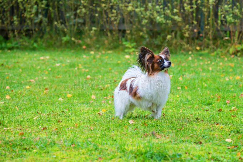 Το πορτρέτο ενός papillon το σκυλί στοκ φωτογραφίες με δικαίωμα ελεύθερης χρήσης