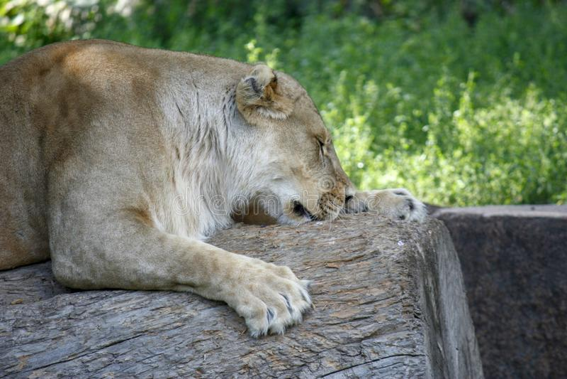 Το πορτρέτο μιας λιονταρίνας που στηρίζεται σε μια χαλάρωση θέτει μια ηλιόλουστη ημέρα στοκ φωτογραφία με δικαίωμα ελεύθερης χρήσης