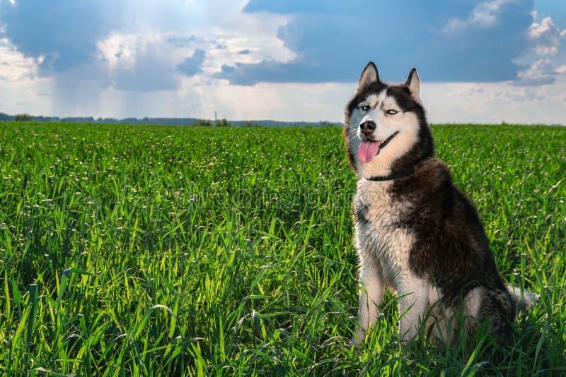 Το πορτρέτο που χαμογελά το γεροδεμένο σκυλί είναι αναδρομικά φωτισμένο σε έναν χρυσός-πράσινο τομέα της χλόης στο ηλιοβασίλεμα Σ στοκ φωτογραφία με δικαίωμα ελεύθερης χρήσης