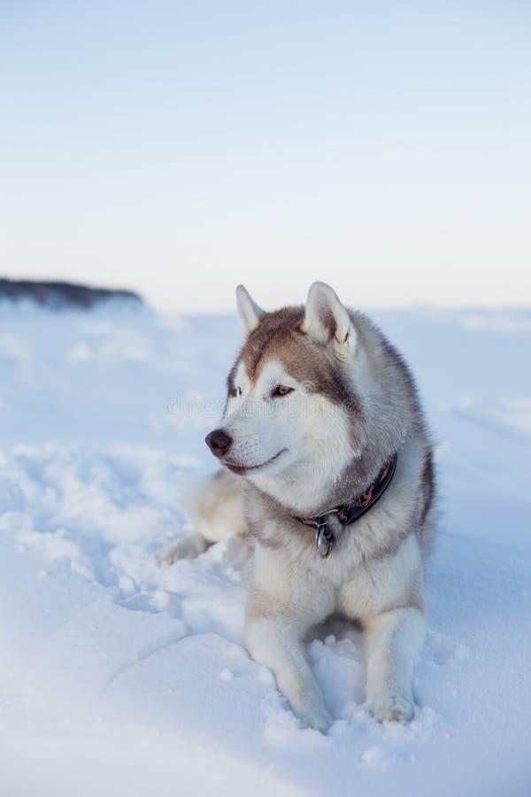 Το πορτρέτο σχεδιαγράμματος της πανέμορφης φυλής σκυλιών γεροδεμένης βρίσκεται στο χιόνι στο ηλιοβασίλεμα και εξετάζει την απόστα στοκ φωτογραφία με δικαίωμα ελεύθερης χρήσης