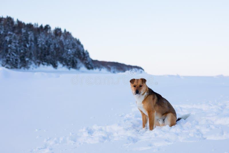 Το πορτρέτο σχεδιαγράμματος του όμορφου κοκκίνου μη το σκυλί είναι στο χιόνι και το δασικό υπόβαθρο στοκ εικόνες