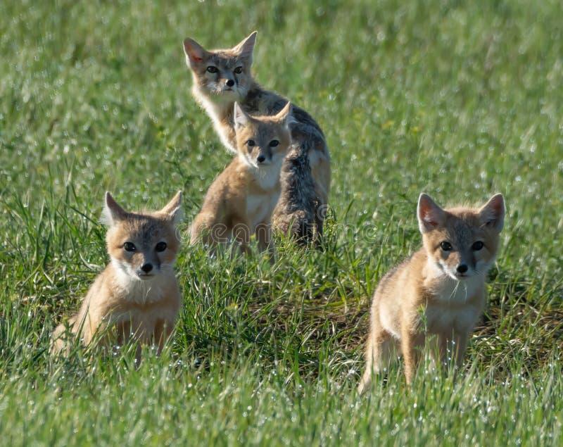 Το πορτρέτο της οικογένειας Swift Fox στα λιβάδια του Πόουνι στοκ φωτογραφία