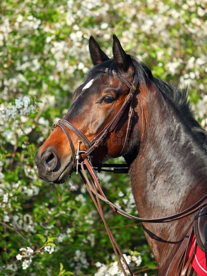 Το πορτρέτο του αθλητικού αλόγου κόλπων καλλιεργεί την άνοιξη στοκ φωτογραφίες με δικαίωμα ελεύθερης χρήσης