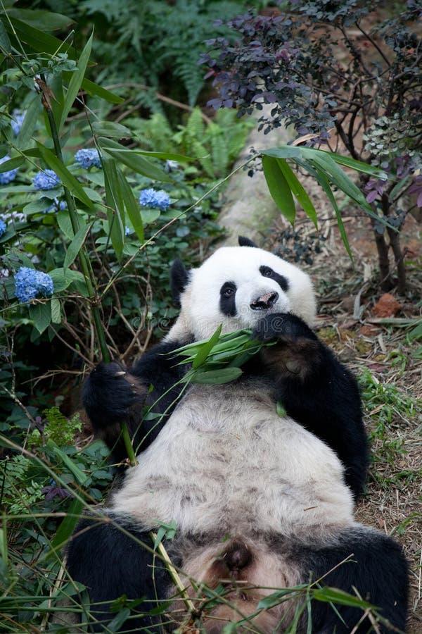 Το πορτρέτο του γιγαντιαίου panda, το melanoleuca Ailuropoda, ή η Panda αντέχουν Κλείστε επάνω του γιγαντιαίου panda που βρίσκετα στοκ φωτογραφία
