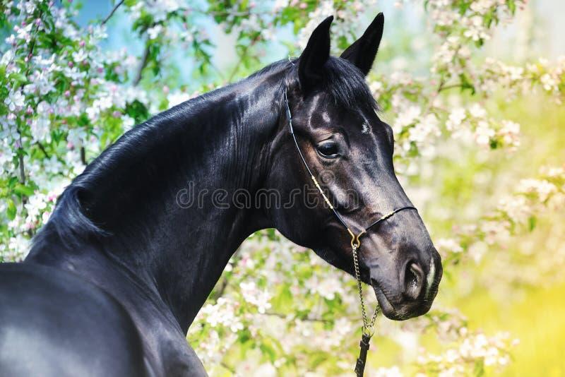 Το πορτρέτο του μαύρου αλόγου καλλιεργεί την άνοιξη στοκ φωτογραφίες με δικαίωμα ελεύθερης χρήσης