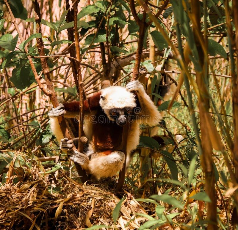 Το πορτρέτο του coquereli Propithecus aka sifaka του Coquerel στους κερκοπίθηκους σταθμεύει, Antananarivo, Μαδαγασκάρη στοκ εικόνα