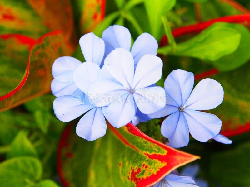 Το πορφυρό λουλούδι είναι ανθίζοντας στον κήπο στοκ εικόνα