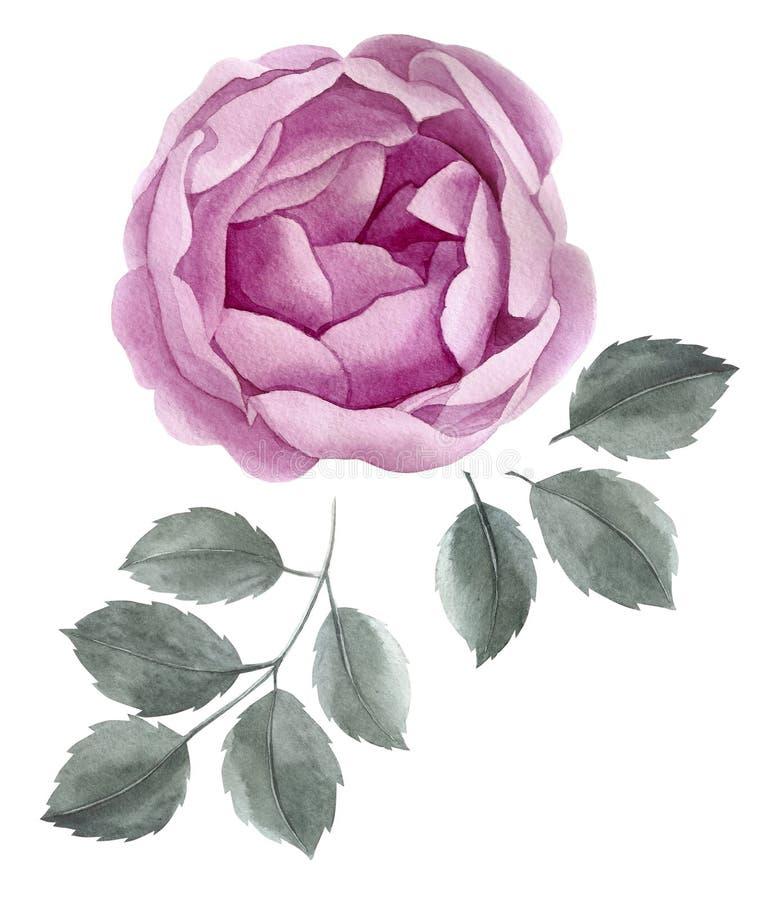 Το πορφυρό watercolor αυξήθηκε Βοτανική floral απεικόνιση Ρόδινο άνθος peony γάμος απεικόνισης καρτών αφαίρεσης Εκλεκτής ποιότητα στοκ εικόνα