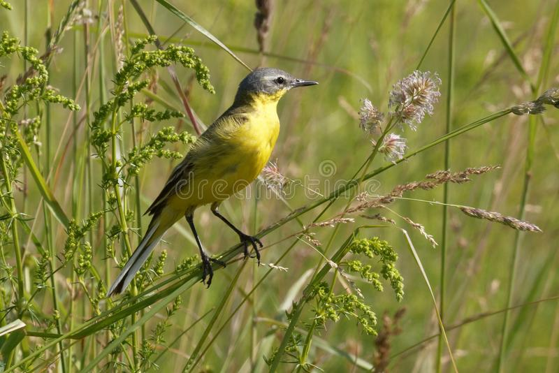 Το πουλί το κίτρινο Wagtail τραγουδά μεταξύ των λουλουδιών σε ένα ηλιόλουστο λιβάδι το καλοκαίρι στοκ εικόνα
