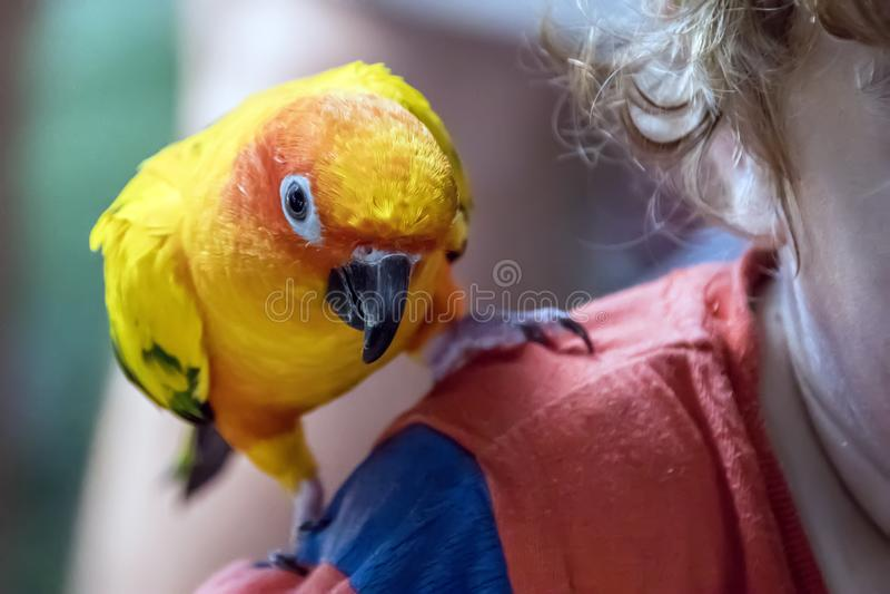 Το πουλί παπαγάλων conure ήλιων κάθεται σε έναν ώμο παιδιών στοκ φωτογραφία με δικαίωμα ελεύθερης χρήσης