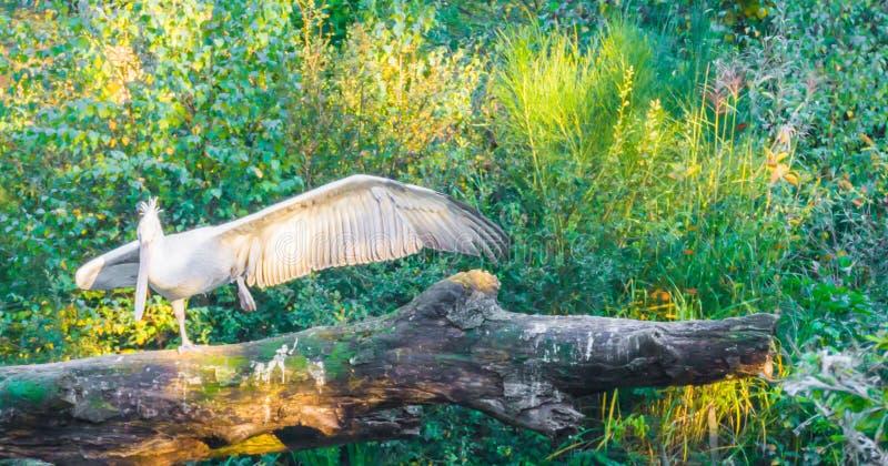 Το πουλί πελεκάνων που διαδίδει τα φτερά του ανοίγει και στεμένος σε ένα πόδι σε έναν ισχυρό θέστε στοκ εικόνες