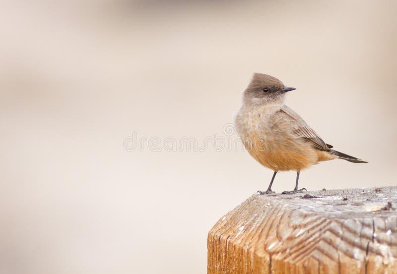 το πουλί phoebe s λέει στοκ φωτογραφία με δικαίωμα ελεύθερης χρήσης