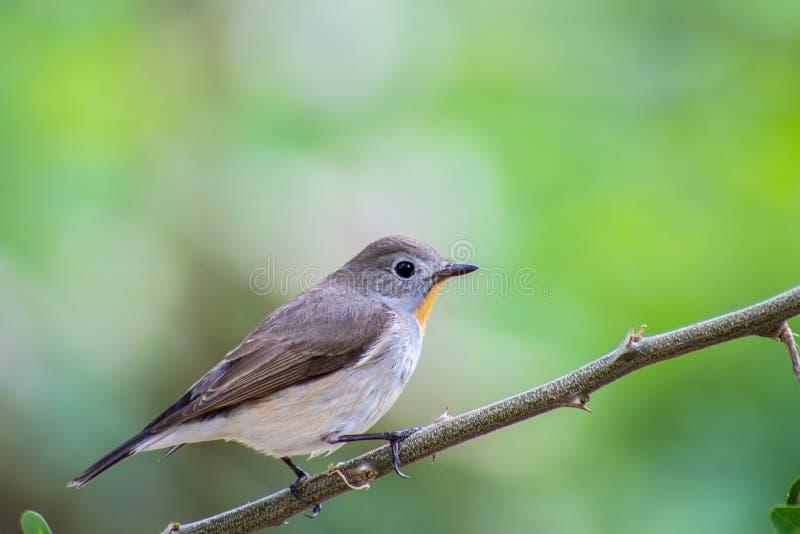 Το πουλί κόκκινος-Flycatcher (albicilla Ficedula) στους κλάδους στοκ εικόνες