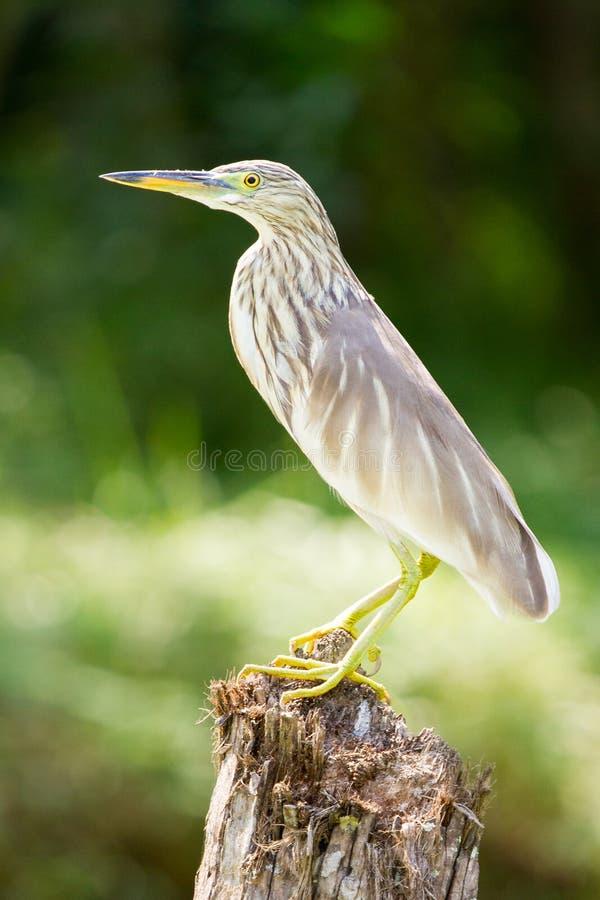 Το πουλί στη ζούγκλα τελμάτων του Κεράλα στοκ εικόνα
