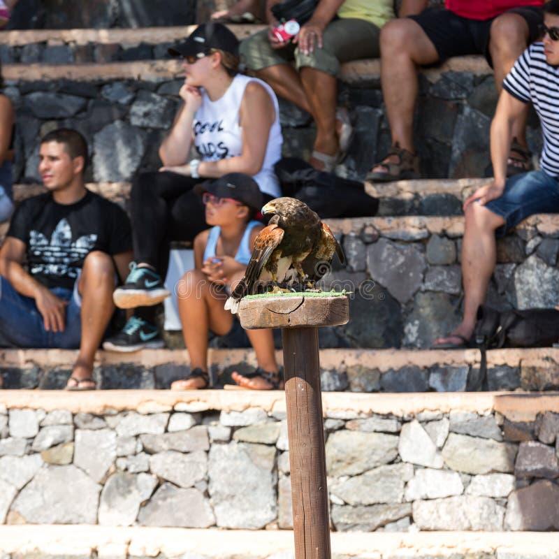 Το πουλί του θηράματος παρουσιάζει, πάρκο οάσεων, Fuerteventura, Κανάριο νησί, στοκ εικόνα
