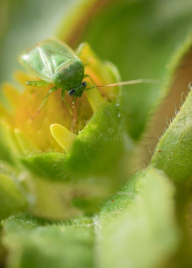 Το πράσινο ζωύφιο ασπίδων εντόμων στηρίζεται σε έναν κίτρινο οφθαλμό λουλουδιών Μακρο και κλείστε επάνω τη φωτογραφία στοκ φωτογραφίες