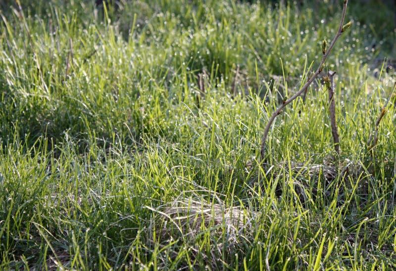 Το πράσινο λιβάδι πρωινού την άνοιξη με την πράσινη χλόη που καλύπτεται με τη δροσιά μειώνεται, κινηματογράφηση σε πρώτο πλάνο στοκ εικόνα με δικαίωμα ελεύθερης χρήσης